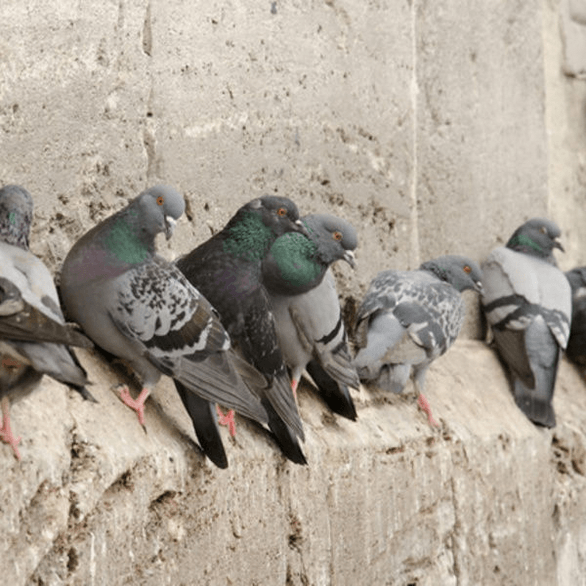 dépigeonnage marseille pigeon adh nuisibles